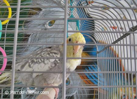 Female-Pet-Cockatiel