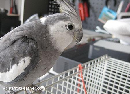 Male-Cockatiel