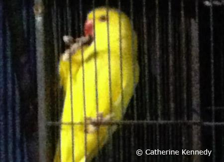 yellow-female-ringneck