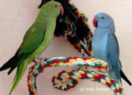 blue-green-indian-ringneck