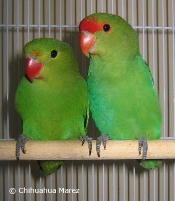 Abyssinian Lovebird