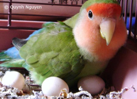 lovebird on eggs