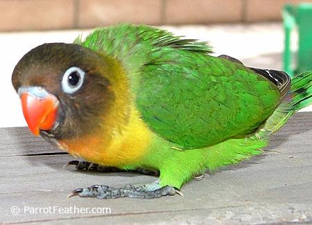 baby maked lovebird