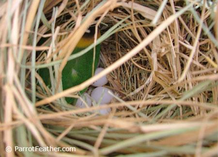 Black-Masked Lovebird Nest