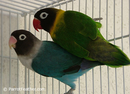 African lovebirds with name - photo#16