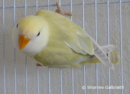 ParrotFeather.com | Raising a Tame Lovebird: Socialization
