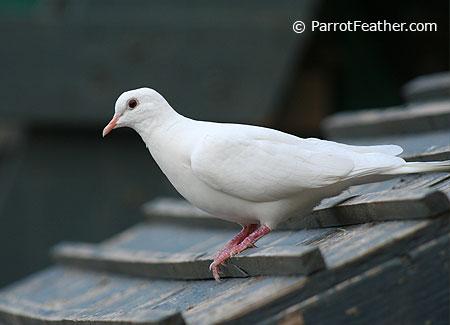 parrotfeather com ringneck doves