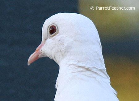 Parrotfeather Ringneck Doves