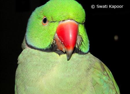 mithu-parrot