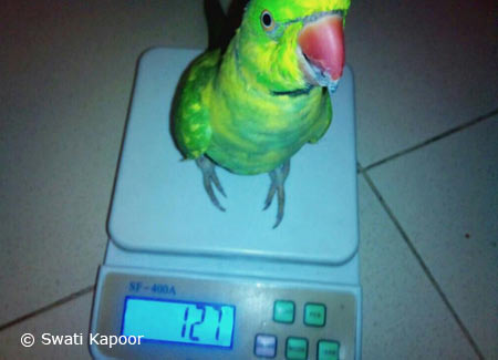 Indian-Ringneck-Scale